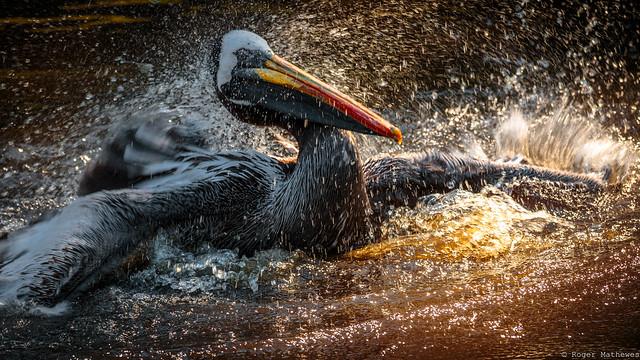 ein Pelikan bei der Wäsche