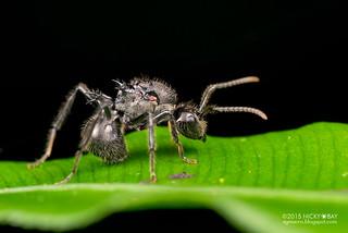 Ant (Polyrhachis sp.) - DSC_4764