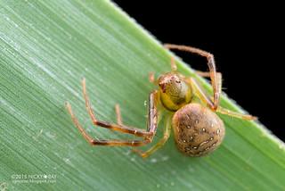 Crab spider (cf. Spilosynema sp.) - DSC_5716