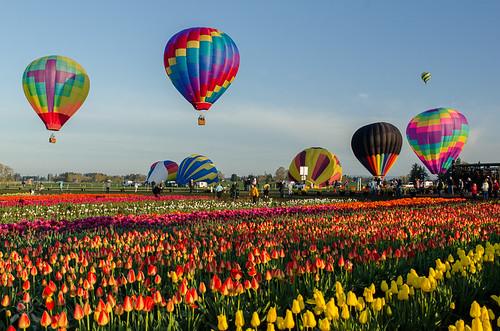 flowers oregon spring nikon tulips blossoms woodenshoe woodburn 2015 willamettevalley d7000