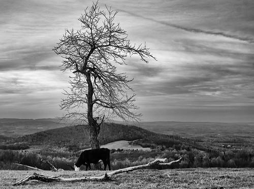 A cow on A mountain