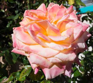 Oakland Flowers   by sooz