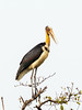 Lesser Adjutant (Leptoptilos javanicus) by David Cook Wildlife Photography