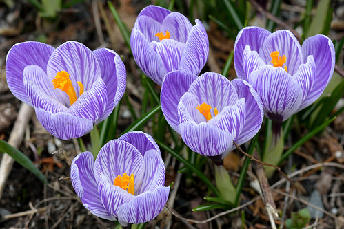 flowers crocus botanicalgardens springtime wavehill