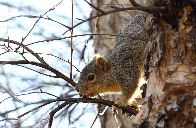 Squirrel, Cantigny Park. 23 (EOS)