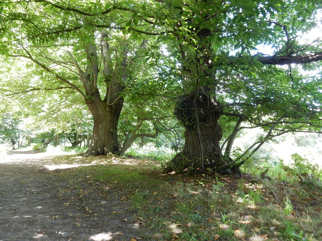 Big chestnuts Cuxton to Halling