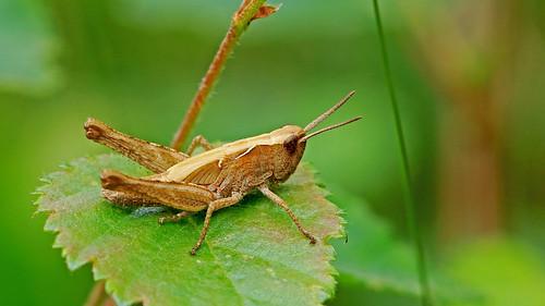 Common field grasshopper(immature) - Chorthippus brunneus
