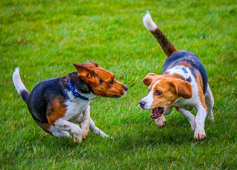 Beagle play