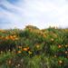 Mt Diablo poppies by B. Xue