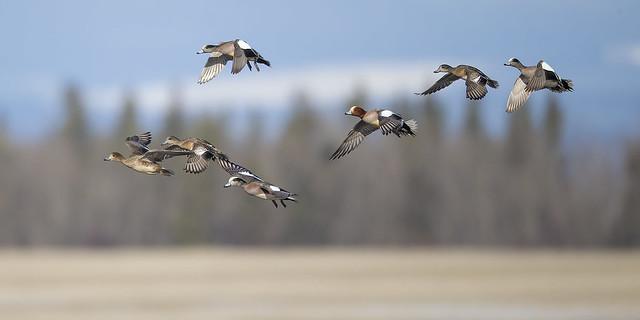 Vanderhoof Eurasion Wigeon in Flight