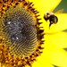 August 25, 2014 - 2:51am - The Bee and the Sunflower
