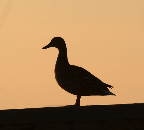 silhouette wisconsin sunrise outdoors earlymorning ducks critters wi warmspringday janesvile firstdaysofspring2015