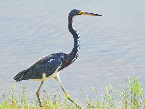 Tricolored Heron 2-20160805