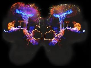 Beta lobe neurons   by NICHD NIH