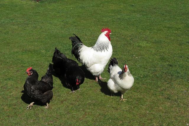Hens on Brownsea Island