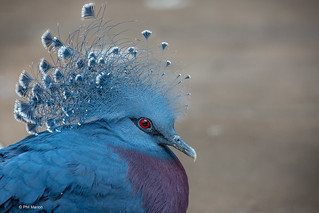 Victoria Crowned Pigeon (Goura victoria) | by Phil Marion (176 million views - THANKS)