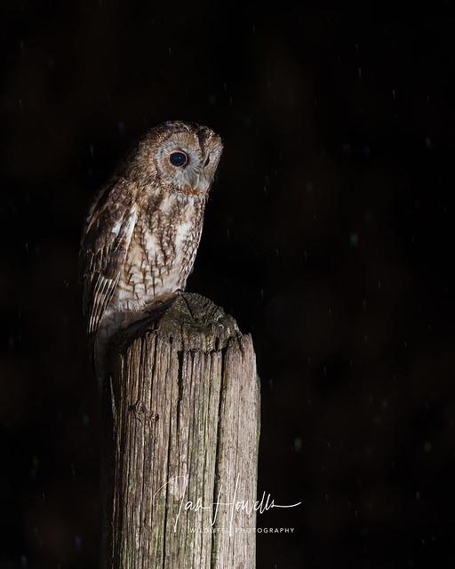 Tawny owl in the rain