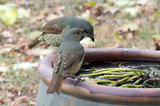 two female satin bower birds