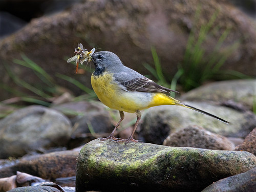 Grey Wagtail 6 | by Richard Towell