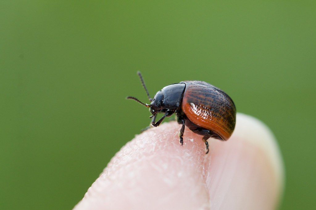 Chrysomelidae, Chrysolina diluta