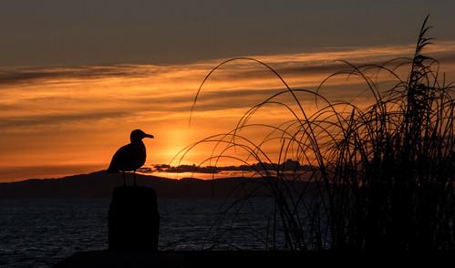 sunset seagull washington ocean