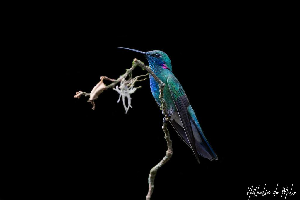 beija-flor-de-orelha-violeta (Colibri serrirostris) - White-vented Violetear