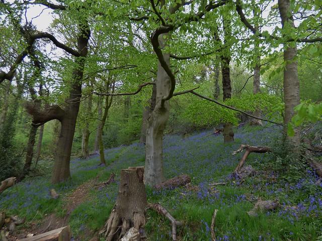 Bluebell Carpet at Red Scar Woods in Brockholes Nature Reserve near Preston, Lancashire, England - April 2015