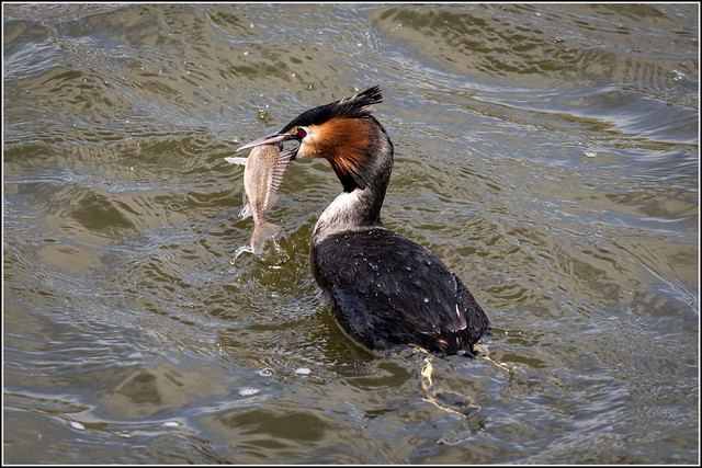 Great Crested Grebe fishing (Explored 15/4/15)