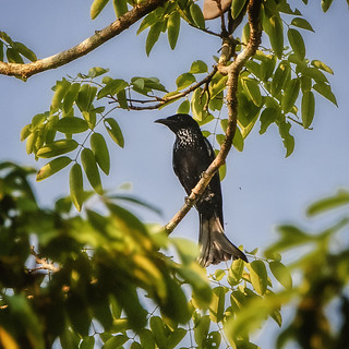 Hair-crested Drongo | by arnewuensche66