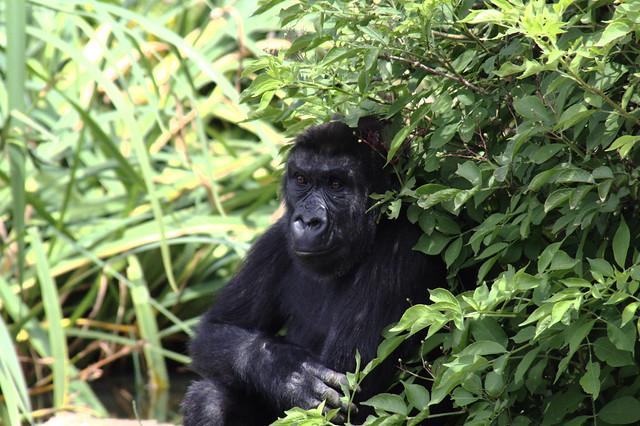 Young Gorilla Close