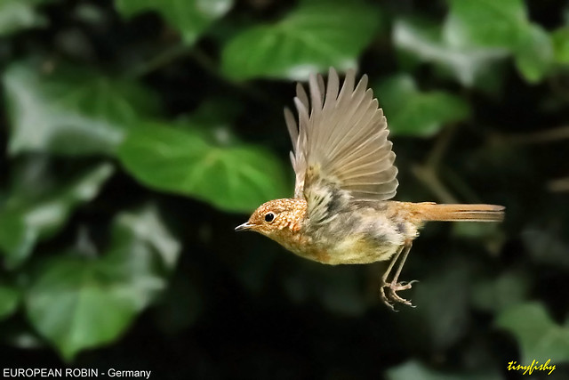 Improved : European Robin Juvenile - [ Frankfurt Botanical Garden, Germany ]