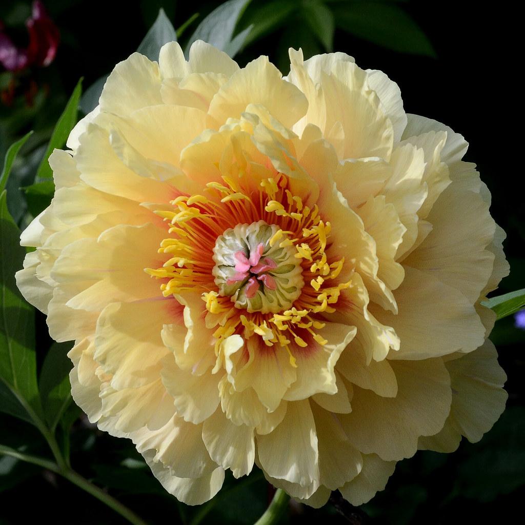 Peony Garden Treasure Rob Sharon Illingworth Flickr