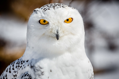 Snowy owl stare down | by Phil Marion (176 million views - THANKS)