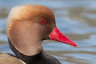 Red-crested Pochard | by RuudVisser