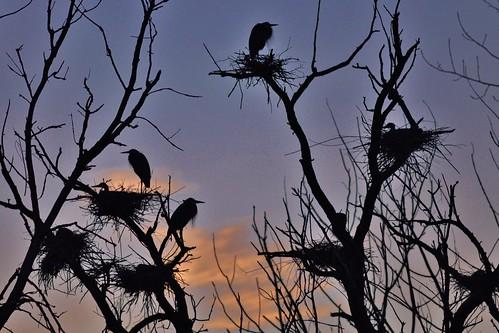 sunset sky usa cloud bird heron silhouette us illinois nikon eveningsky egret lakecounty nests 300mmf4 d90 stevelamb heroncreek heroncreekforestpreserve
