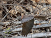 Brown Goshawk (Accipiter fasciatus) Darwin, Australia 2016 by Ricardo Bitran