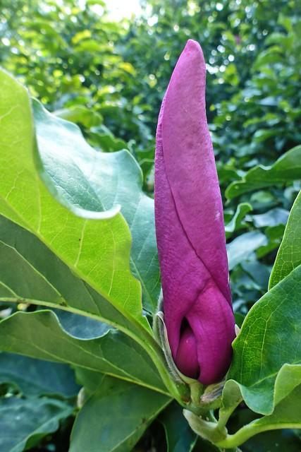 Magnolia in August 02