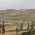 Bison on Specimen Ridge