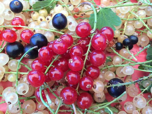 Red White & Black Currants Jul 22, 2016 (8) | by toutberryfarms