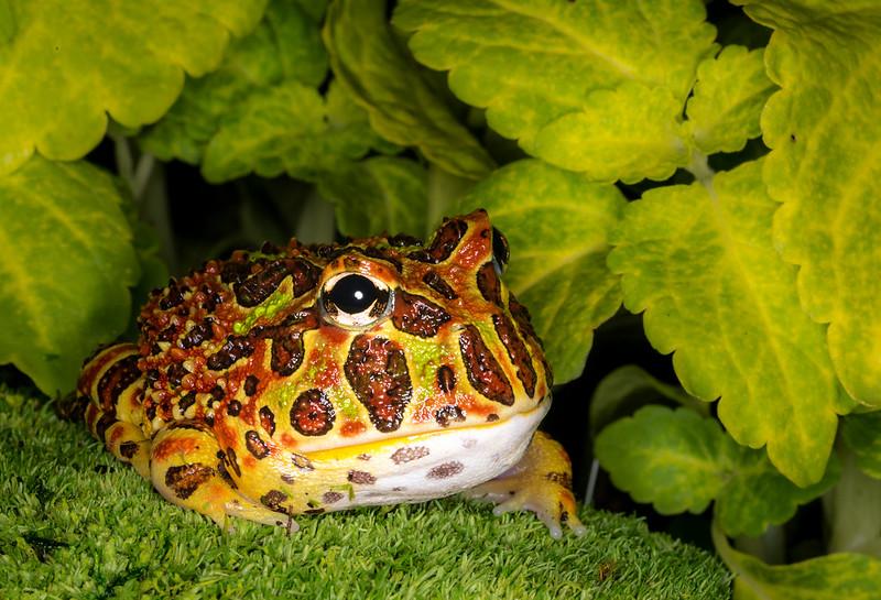 20160723-DMK_3346-Edit-EditHigh Red Ornate Pacman Frog