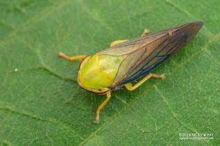 Leafhopper (Drabescus sp.) - DSC_7553