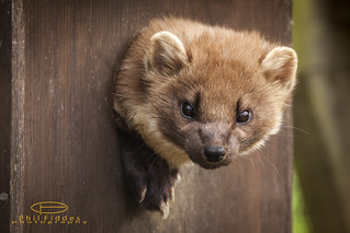 Pine Marten | by Phil Fiddes
