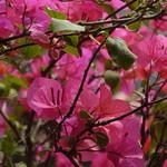 九重葛 Paper Flower