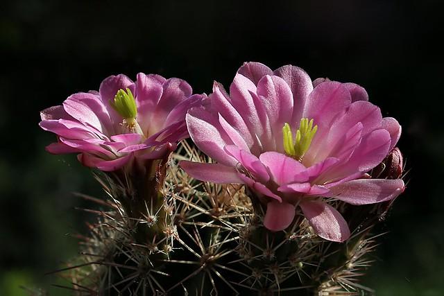 Echinocereus roetheri