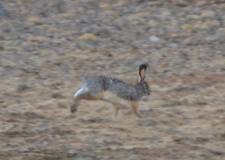 Starck's Hare | by curtisfrommichigan