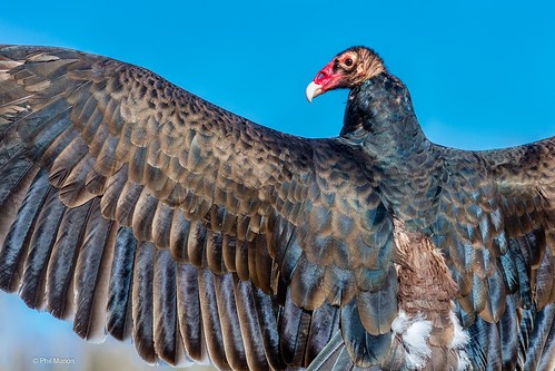Turkey vulture - Canadian Raptor Conservancy | by Phil Marion (176 million views - THANKS)