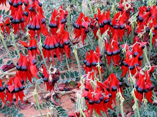 Sturt's Desert Pea - Swainsona formosa - Andamooka
