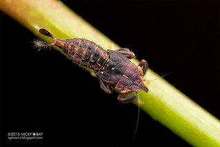 Leafhopper nymph (cf. Hylicinae) - DSC_6130