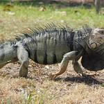 Mi, 22.04.15 - 14:14 - Iguana (in Bewegung)