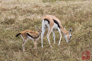 Thomson's gazelle and fawn   by DragonSpeed